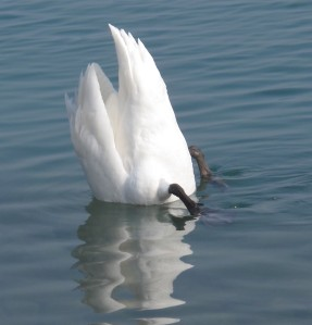 Swans reflection IMG_0277